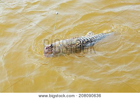 Fish With Black Stripes Known As Cachara