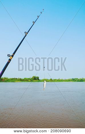 Fishing Rod With A Lambari Fish Hooked On The Fishhook As A Bait For Fishing