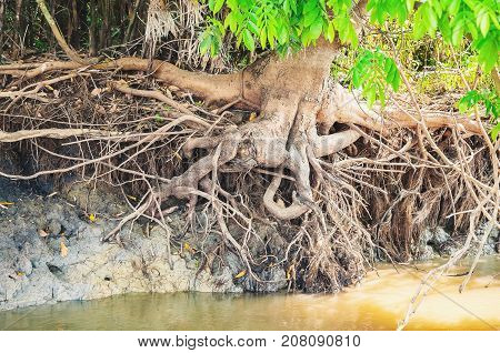 Root Of A Big Tree Out Of The Ground Due To River Water Running On The Banks