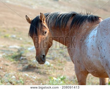 Wild Horse - Red Roan Stallion Looking Back In The Pryor Mountains Wild Horse Range In Montana Unite