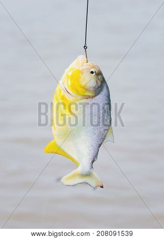 Piranha Hooked Hanging By Hook In Fishing Line