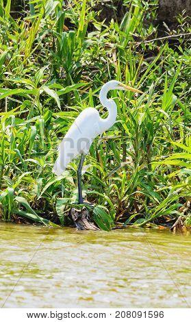 White Egret Above Green Vegetation On The Margins Of A River