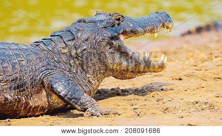 Alligator Taking A Sunbath On A Sandbank On The Margins Of A River