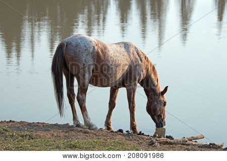 Wild Horse - Red Roan Stallion Drinking At The Waterhole In The Pryor Mountains Wild Horse Range In