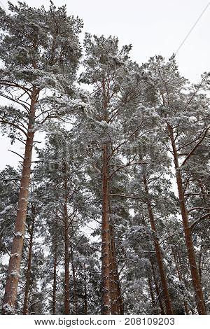 pine branches in the winter season. On branches and needles formed frost during the frost