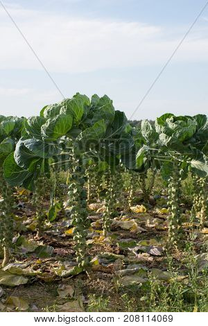Close up of a field of brussel sprouts with the leaves pruned exposing the round brussel sprouts growing on the stalk.