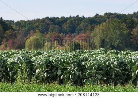 A field of brussel sprout plants with fall trees in the background. Shallow depth of field.