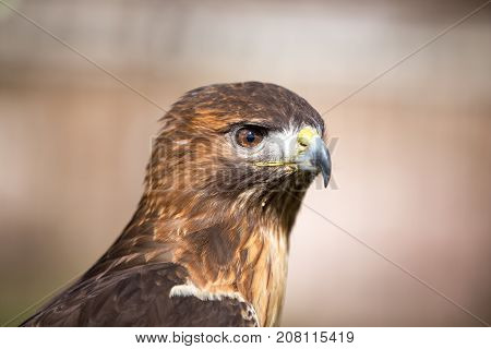 close up of a beautiful Golden eagle