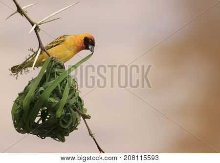 Vitelline Masked Weaver building nest