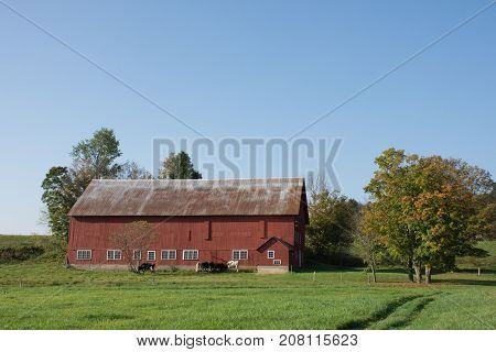 A rustic red barn with metal roof and dairy cows with grass in the foreground and blue sky above. Photographed in natural light.