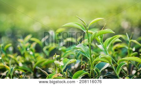 Green tea and fresh leaves in the morning
