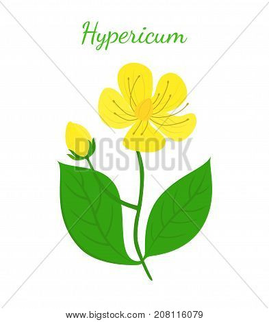 St. John's wort, hypericum, yellow flower. Medical herb, organic plant. Made in cartoon flat style. Vector illustration