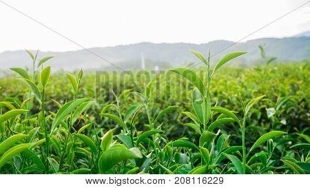 Green tea and fresh leaves at tea farm in chiang rai, Thailand