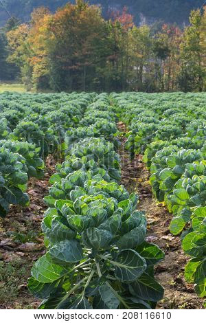 Rows of brussel sprouts in a field in the foreground and deciduous trees with leaves turning fall colors in the background. Shallow depth of field.