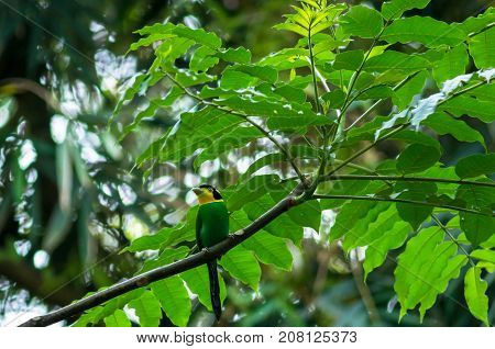 long tailed broadbill on the tree in the deep forest