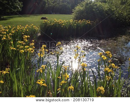 Daffodil Flowers Pond Park Nature Green Relax Sunshine