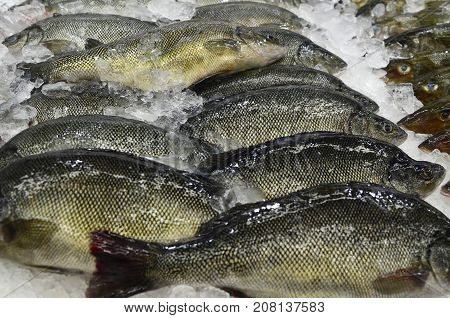 Whole Silver Perch fish on ice at fish market in Sydney New South Wales Australia