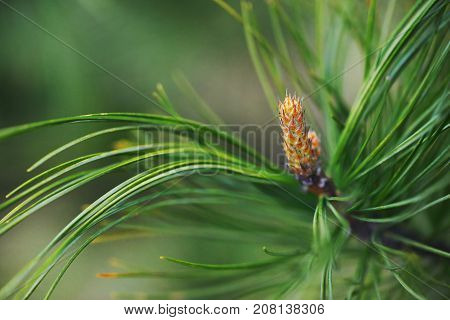 Pine branch with needles and pinecones closeup on blurred background. Macro selective focus.