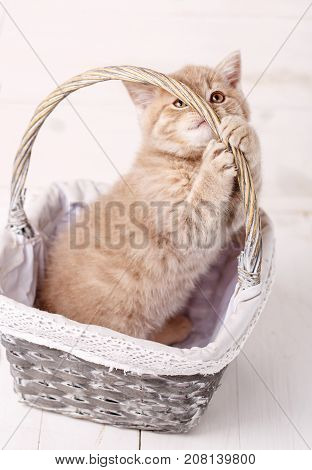 Scottish Fold kitten in a basket of roses.