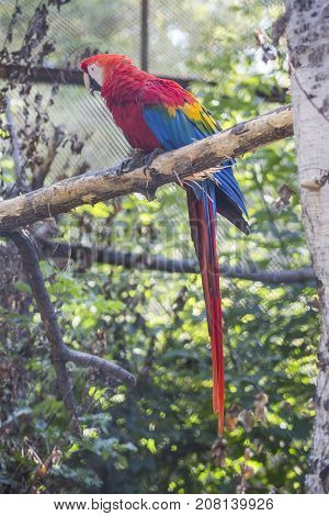 Red Ara Macaw Parrot. Zoo