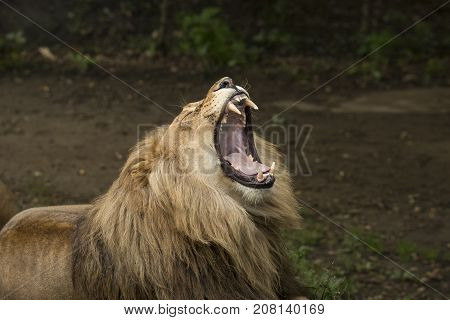 Roaring adult male lion headshot, mouth wide open