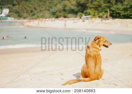 beautiful adult red-haired dog waiting for the owner on the beach on a tropical island in the summer. In the background the beach with resting people.