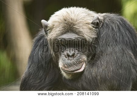 Close up of an old Chimpanzee thinking