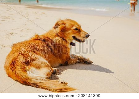 The red dog lies on the beach enjoying the sun and the weather.