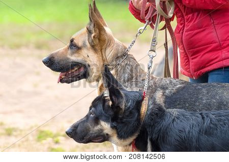 Two dogs on leashes look one way. German Shepherd, a breed of shepherd dog and a service dog. Space under the text. 2018 year of the dog in the eastern calendar Concept: parodist dogs, dog friend of man, true friends, rescuers.
