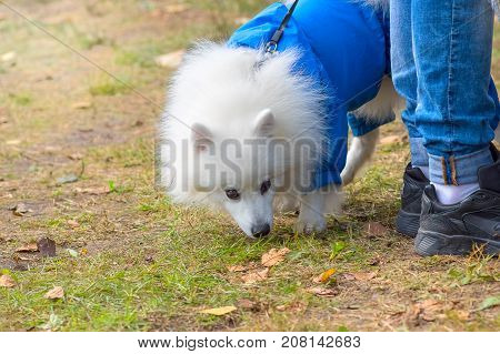 White fluffy dog in blue combenison. Small dog close-up. Concept: cute, home, friend, love, affection, kindness, care. Space under the text. 2018 year of the dog in the eastern calendar