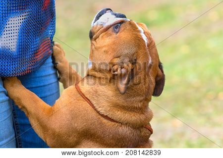 English Bulldog istands on his hind legs and faithfully looks up at the master. Against the background of a green blurred grass. Space under the text. 2018 year of the dog in the eastern calendar. Concept: parodist dogs, dog friend of man, true friends, r