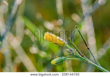 Flower in the field. Field flower in drops of morning dew. A flower in drops of dew close up. Yellow flower in drops of dew on a green background.