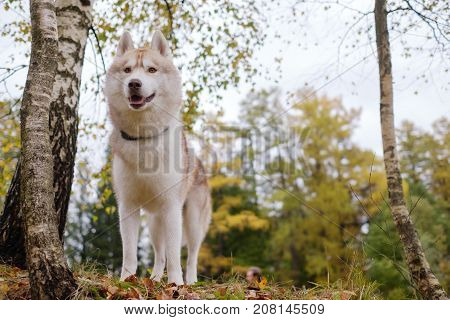 A gingerly Siberian Siberian husky stands and looks ahead. Walking with a dog in the park in the fall. Horizontal view