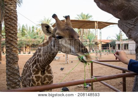 Giraffe is eating grass from human hands. Selective focus.