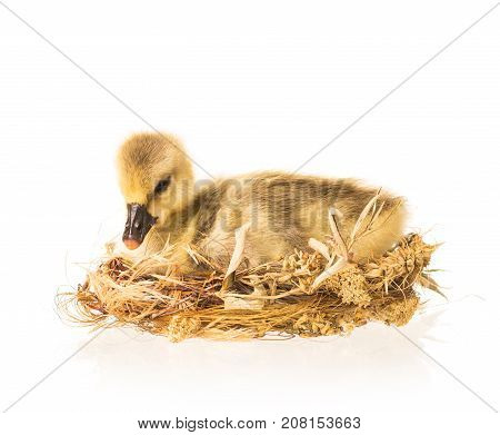 Cute little gosling in the nest isolated over white background