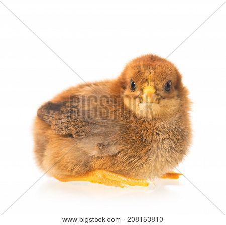 Cute newborn chicken isolated over white background