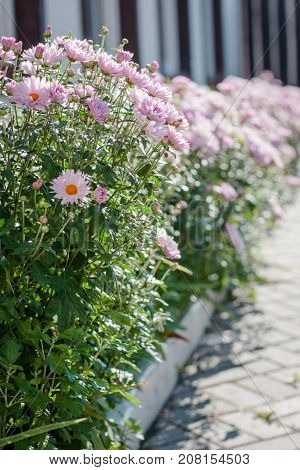 Beautiful crysanthemum flowers on flowerbed at garden