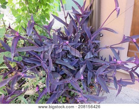 Misery is a usually green and hairy plant but here it is all purple as well as the flower