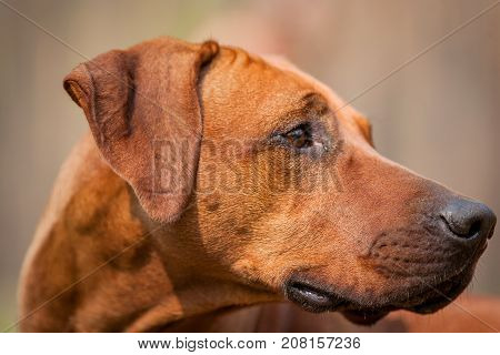 Portrait of the young beautiful rhodesian ridgeback.