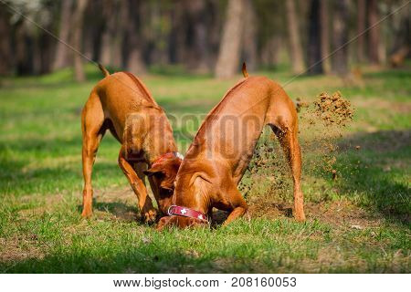 Two rhodesian ridgebacks walking in a park playing and diging a hole in the ground.