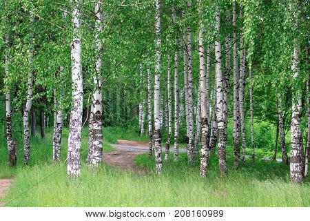 Birch grove with beautiful green trees. Summer day.