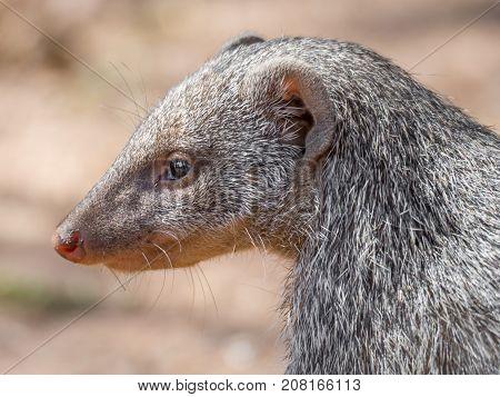 Closeup facial portrait of Banded Mongoose or Mungos Mungo animal, Chobe River National Park, Botswana, Southern Africa.