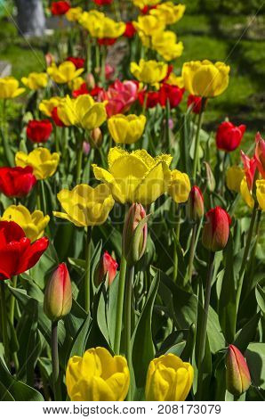 Red And Yellow Tulips On A Flowerbed In The Garden.