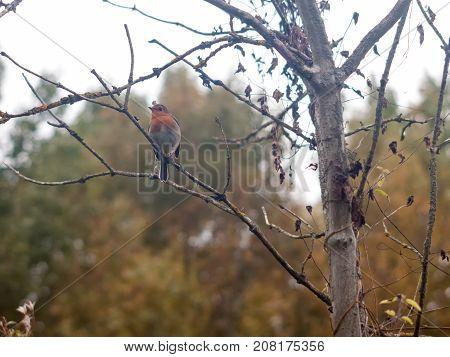 Beautiful English Robin Close Up Detail Sharp On Branch Autumn Winter