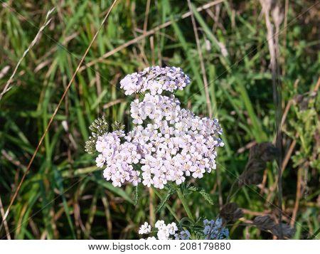 Pink Yarrow Flower Close Up Detail Autumn Grass