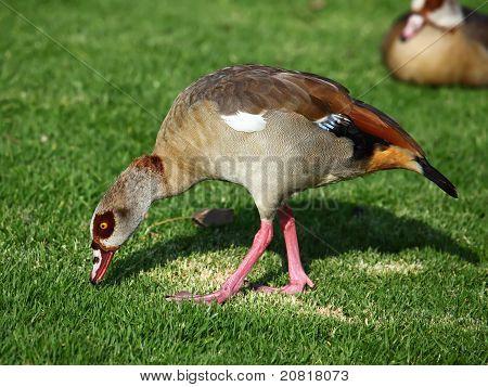 An Egyptian Goose