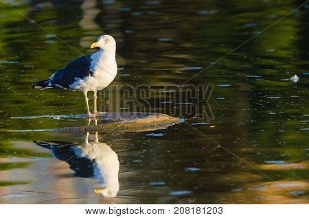 Lesser Black-Backed Gull or Larus fuscus with reflection and copy space for text