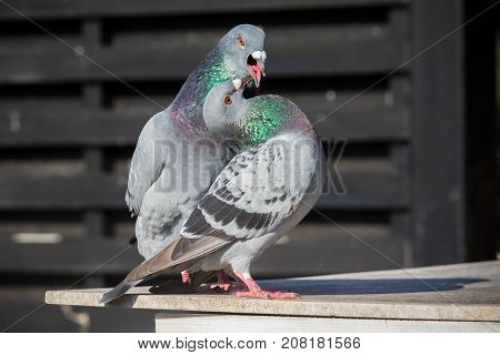 couples of homing pigeon bird natural mating