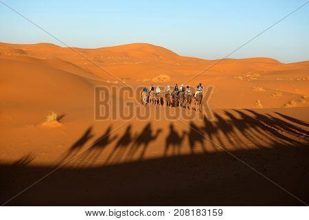 Camel caravan going through the sand dunes in the Sahara Desert Morocco.
