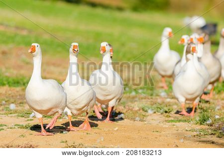 White geese walking in a row. Geese in park